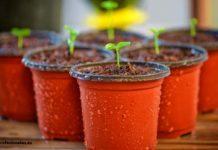 como plantar un girasol cortado